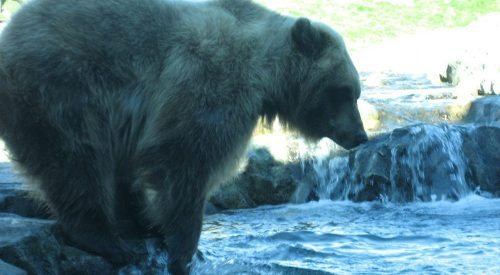 MN Zoo- Russia's Grizzly Coast